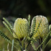 Double Banksia