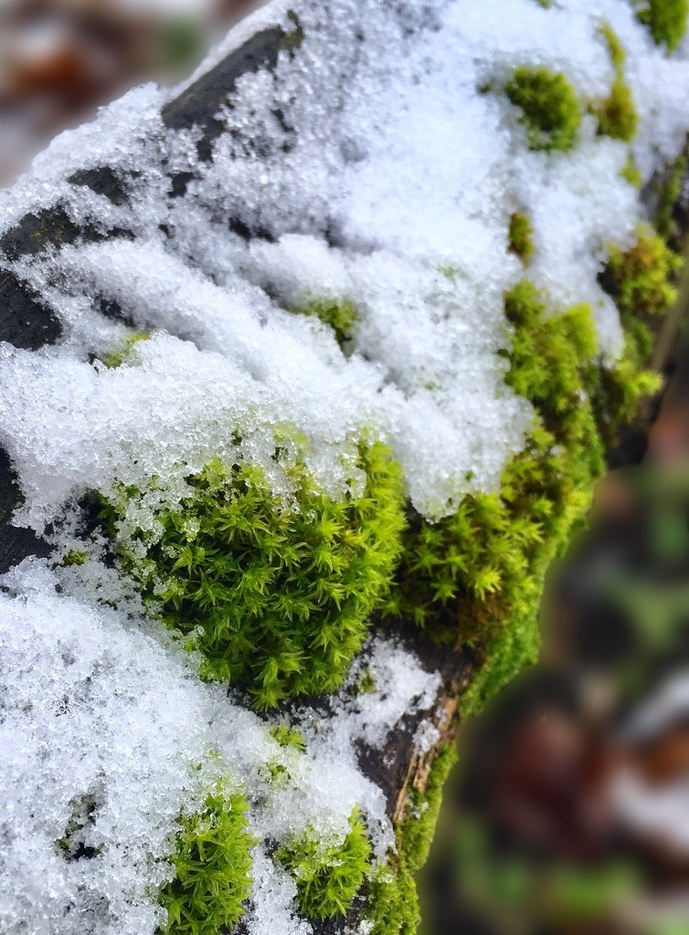 Snowy moss by pattyblue
