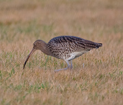 13th Jan 2021 - Curlew