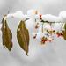 European spindle under the snow by haskar