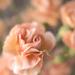 Mini carnation softly by jernst1779