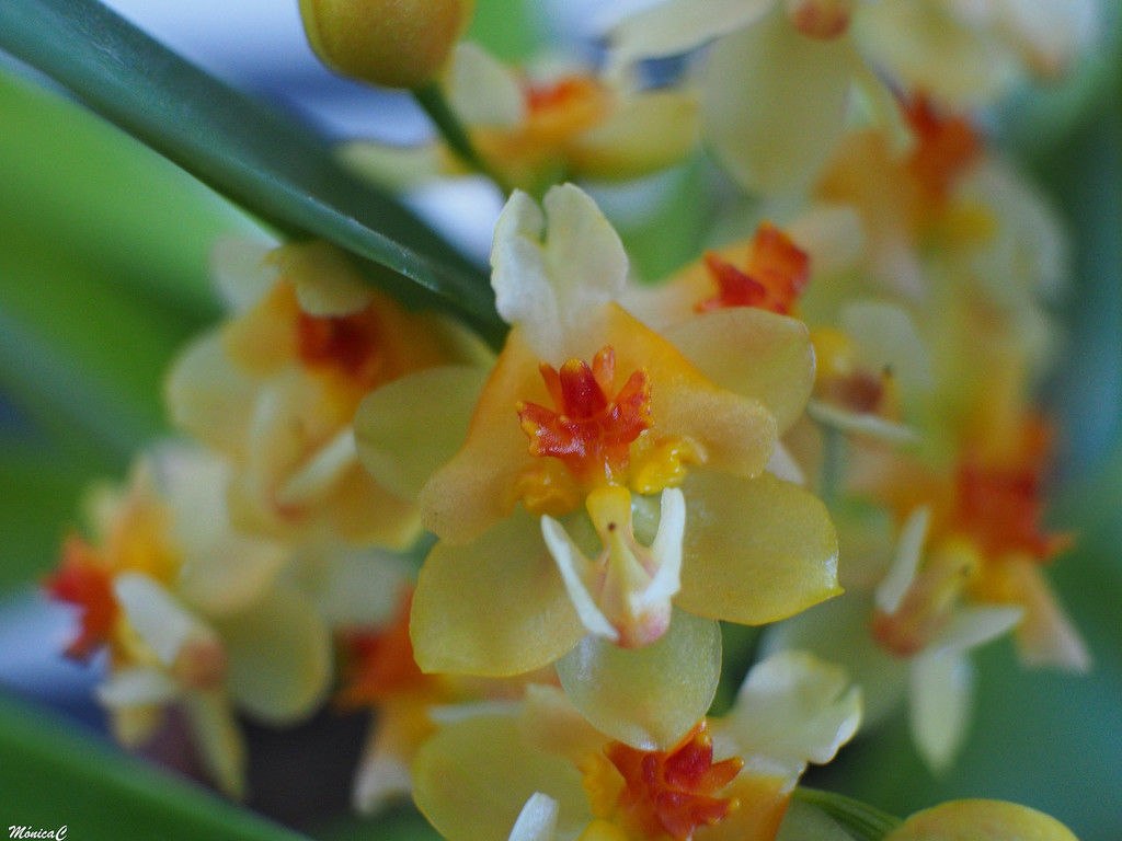 Tiny little orchid by monicac