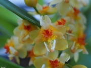 13th Jan 2021 - Tiny little orchid