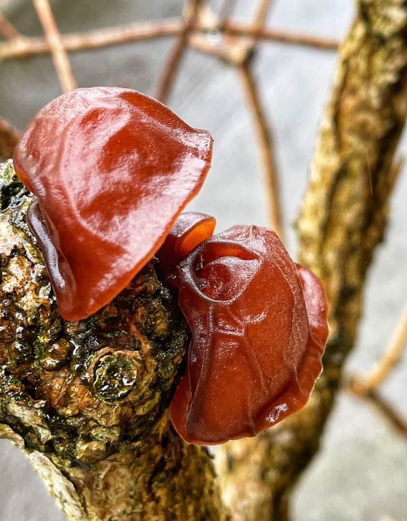 Jelly Ear fungus by tinley23