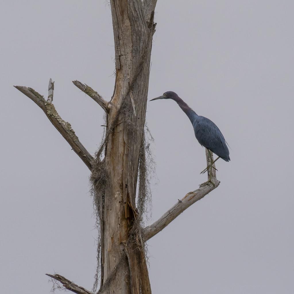 Little Blue Heron by k9photo