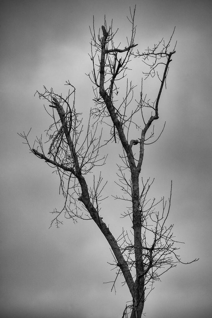 Naked Tree by kvphoto