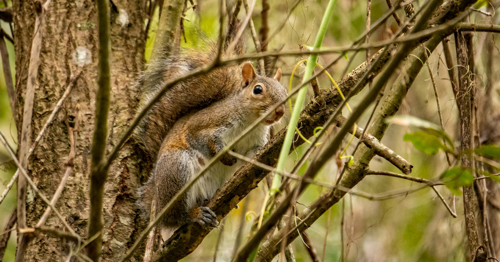 Groaning Squirrel! by rickster549