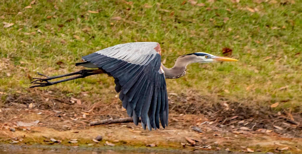 Blue Heron Take Off! by rickster549