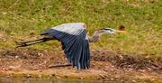 13th Jan 2021 - Blue Heron Take Off!