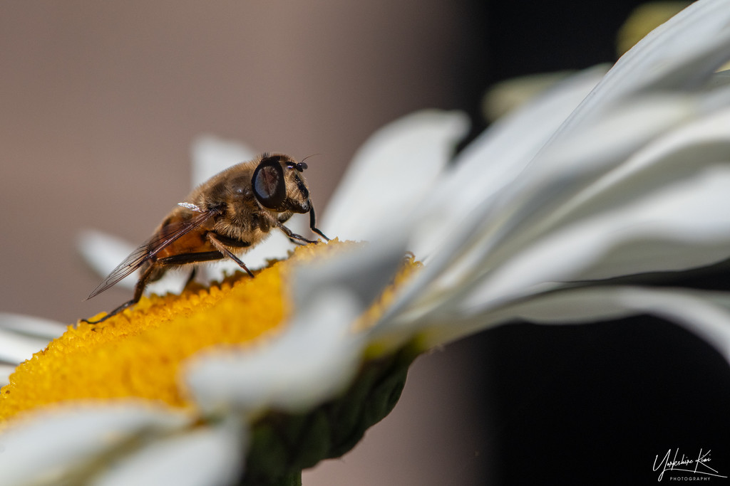 Native Bee by yorkshirekiwi
