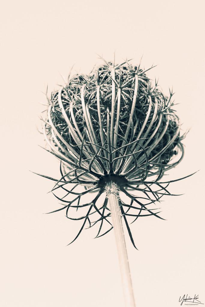 Blossfeldt by yorkshirekiwi