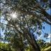 Our beautiful Eucalyptus trees