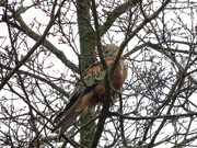 12th Jan 2021 - Red Kite