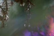 14th Jan 2021 - Under the fir trees in the rain.......