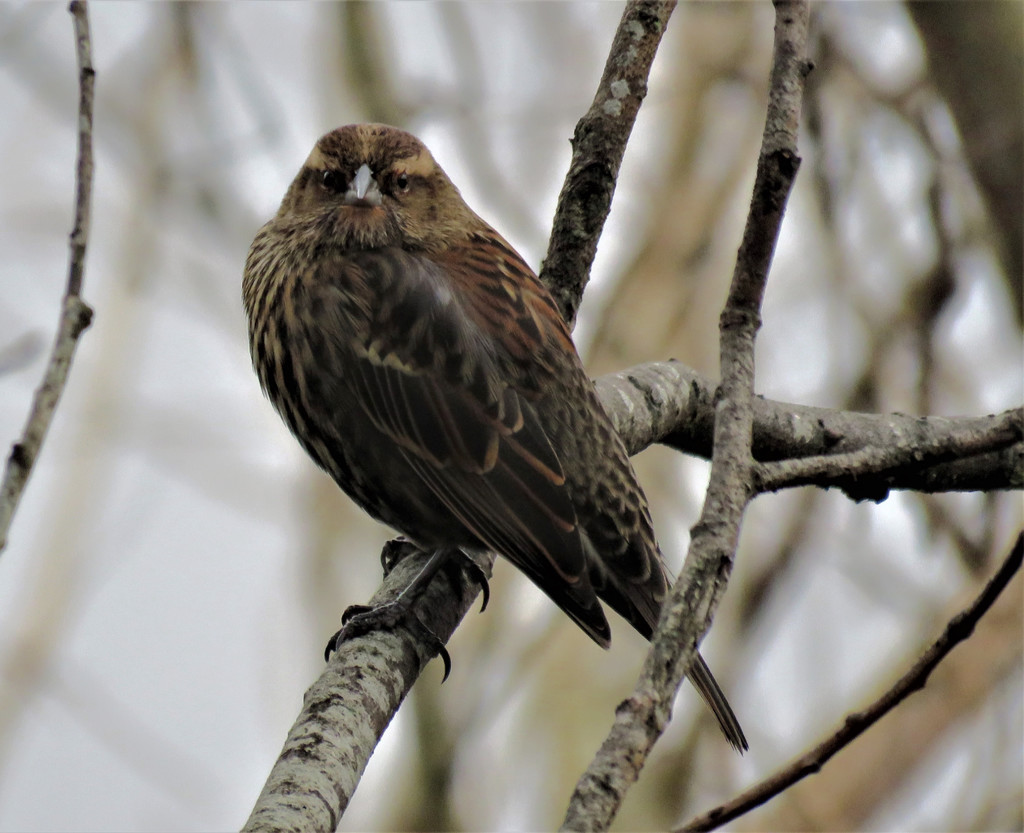 Female Red Wing Black Bird by seattlite