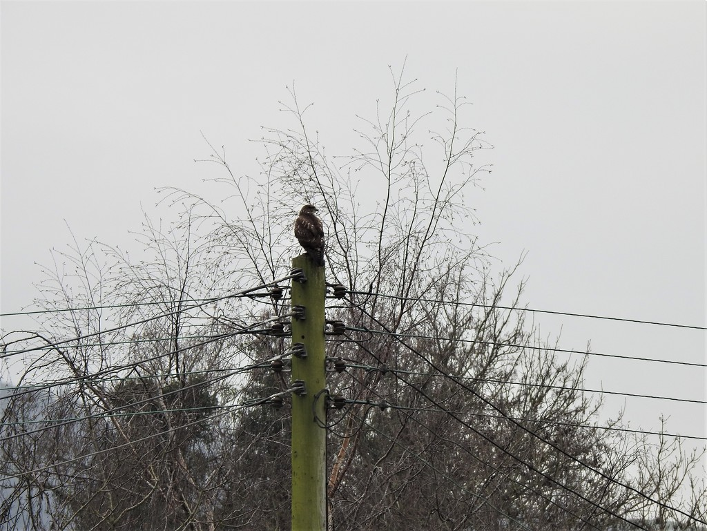 Buzzard on an Electricity Pole by susiemc