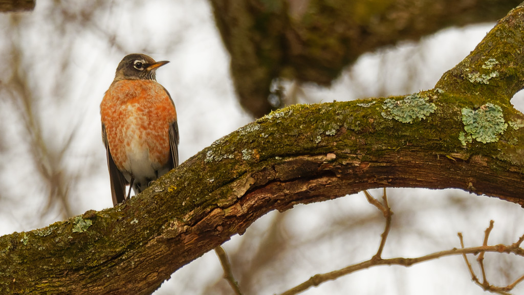 American robin and linchen by rminer
