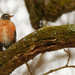 American robin and linchen