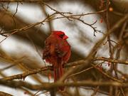 14th Jan 2021 - Northern cardinal
