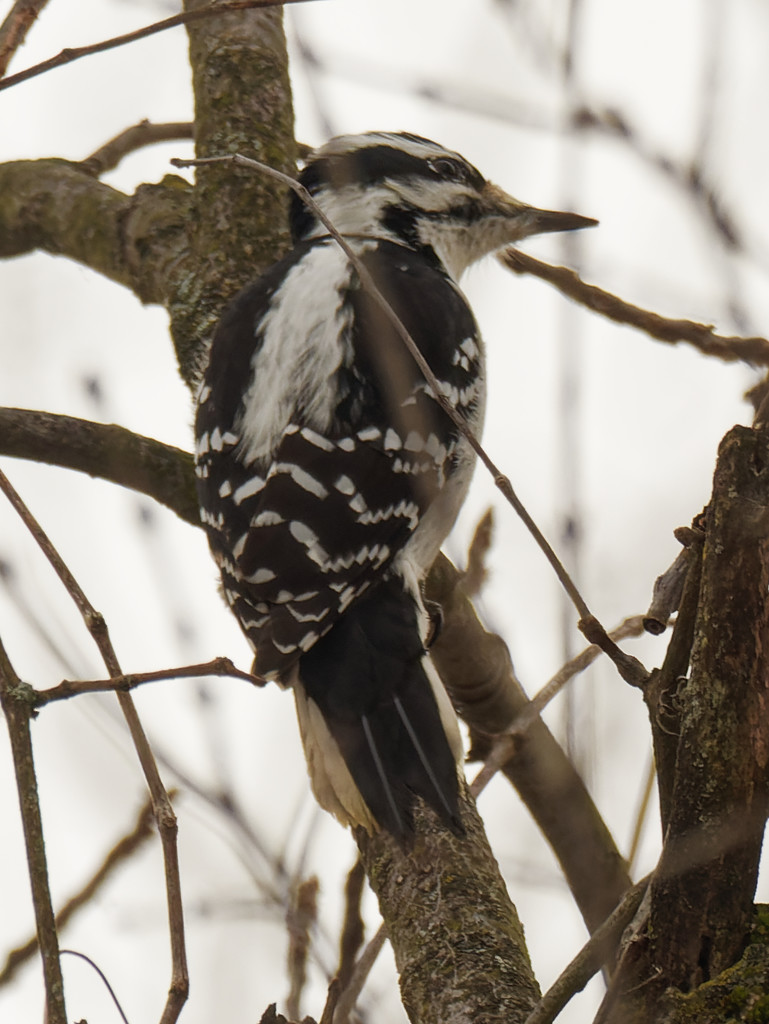 Hairy woodpecker  by rminer