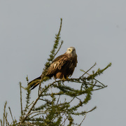 14th Jan 2021 - Red Kite