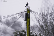 14th Jan 2021 - Bedraggled Magpie