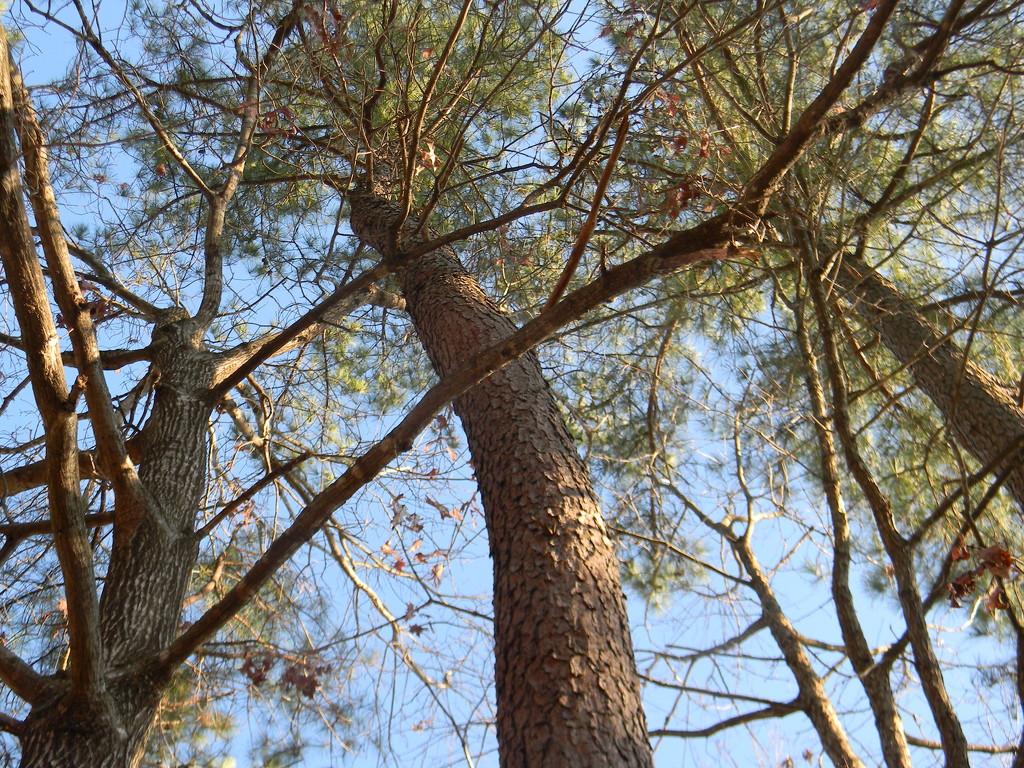 Pine Tree Bending by sfeldphotos
