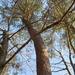 Pine Tree Bending