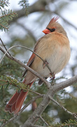 14th Jan 2021 - Female Cardinal