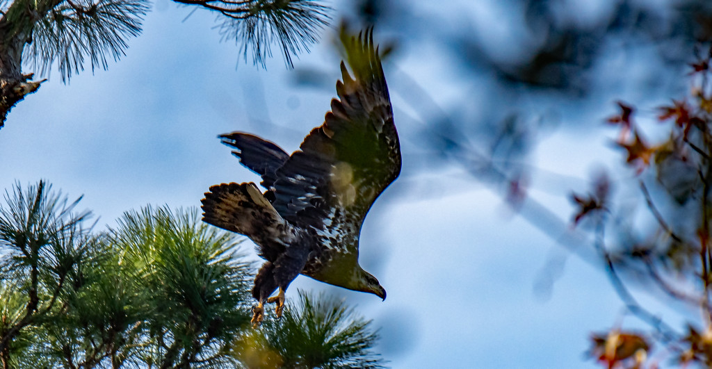 Young Bald Eagle Escaping the Crows! by rickster549