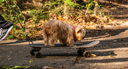 14th Jan 2021 - Skateboarding Doggy!