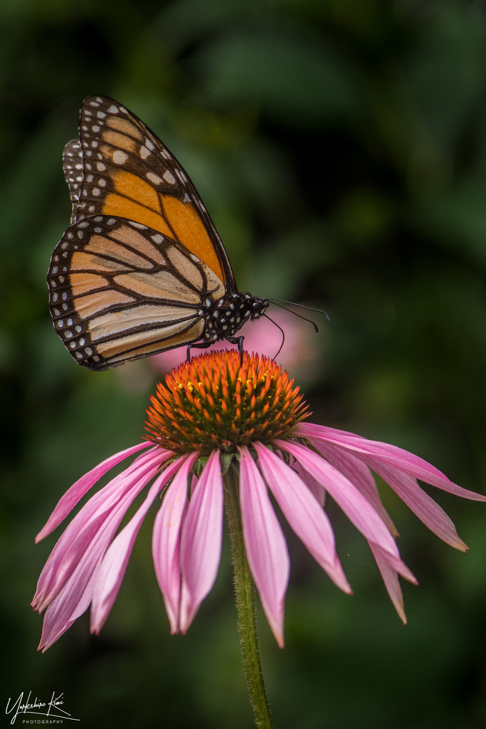 Echinacea and A Monarch by yorkshirekiwi