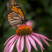 Echinacea and A Monarch