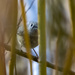Ruby-crowned Kinglet peeking