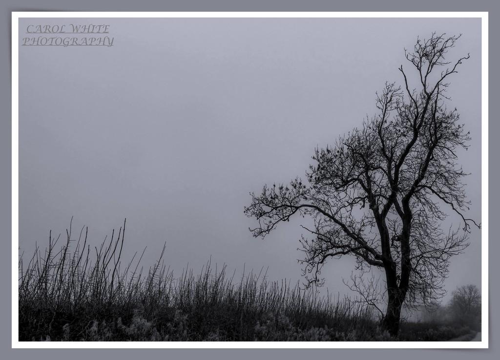 Lone Tree by carolmw