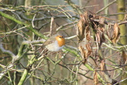 15th Jan 2021 - This is a robin