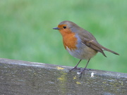 15th Jan 2021 - Robin 1