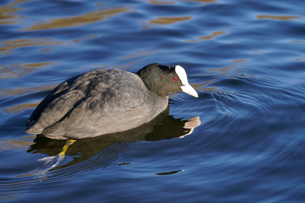 A COOT WITH A FOOT by markp