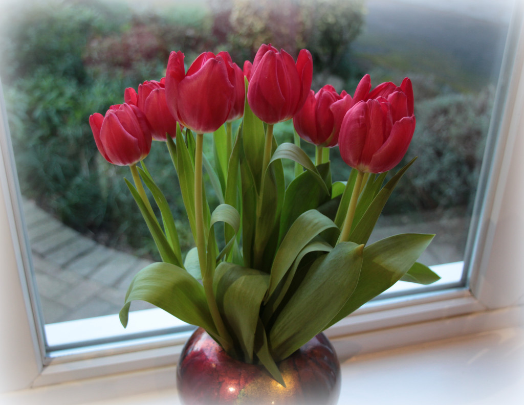 Tulips by busylady