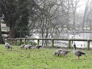 7th Jan 2021 - 10 Greylag Geese