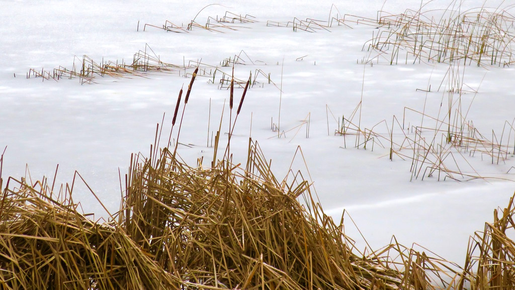 Cattails by ginnys
