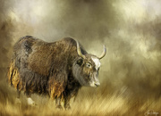 15th Jan 2021 - Musk Oxen