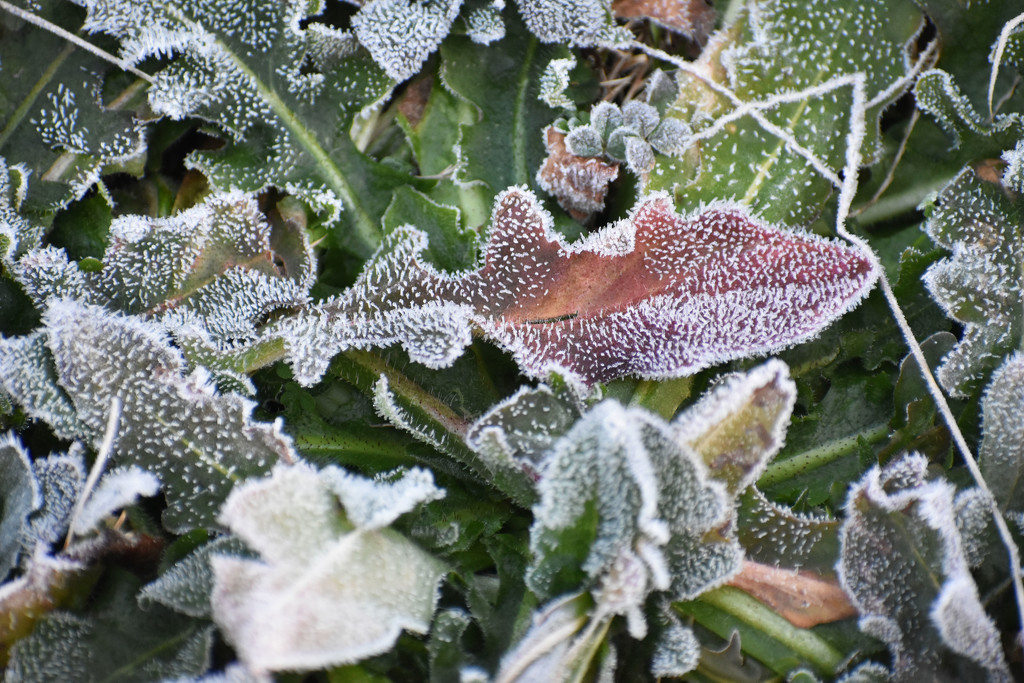 Frosty Leaves by homeschoolmom