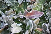 16th Jan 2021 - Frosty Leaves