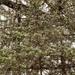 evergreen flurries