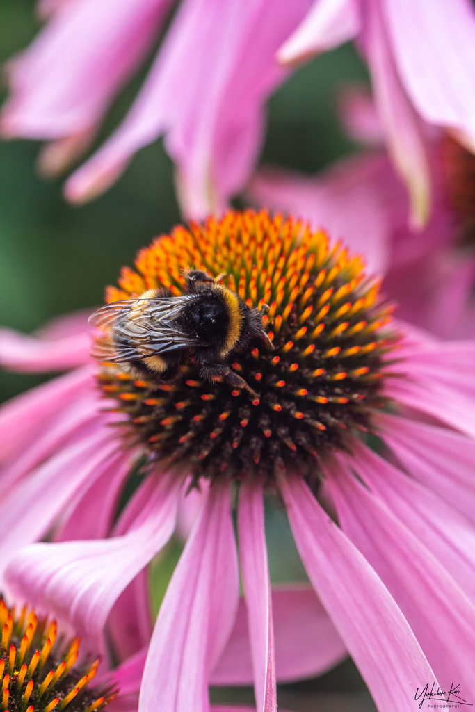 Bumble Bee and Echinacea by yorkshirekiwi