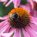 Bumble Bee and Echinacea