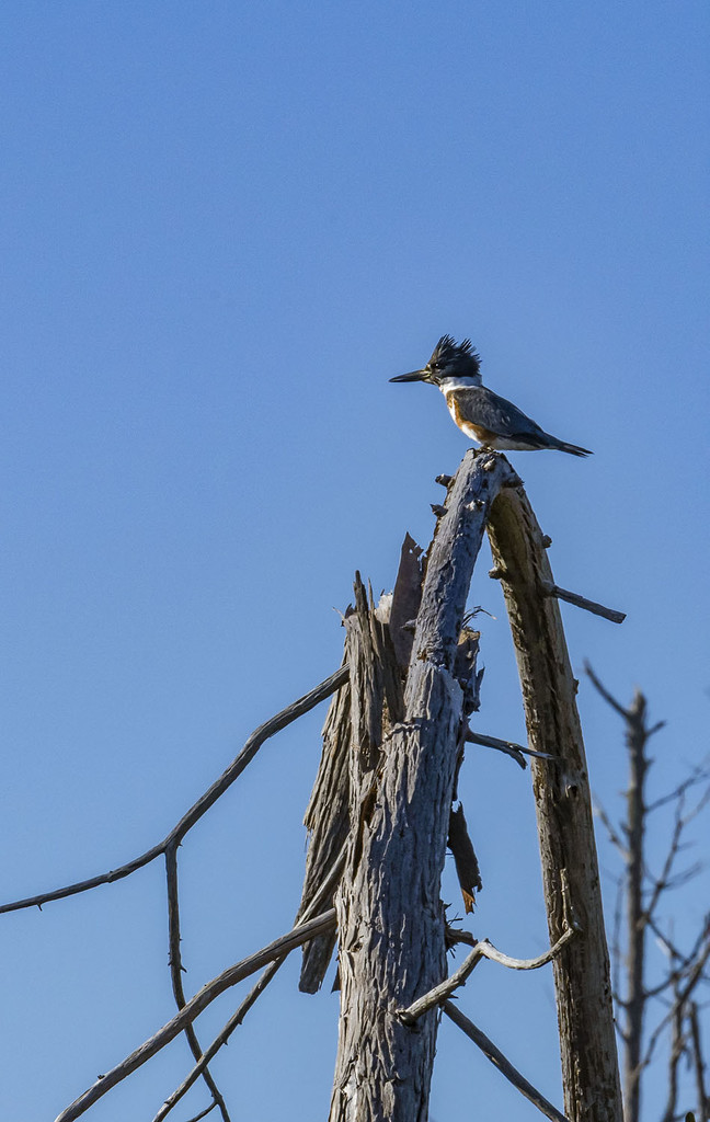 Kingfisher  by kvphoto