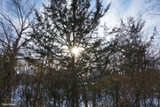 15th Jan 2021 - Sun through a winter tree