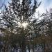 Sun through a winter tree